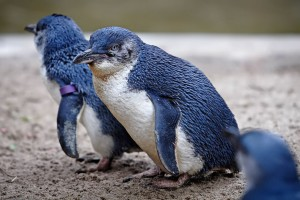 Fairy-Penguins-in-Melbourne-Zoo-inspiration-for-Linux-mascot-Tux